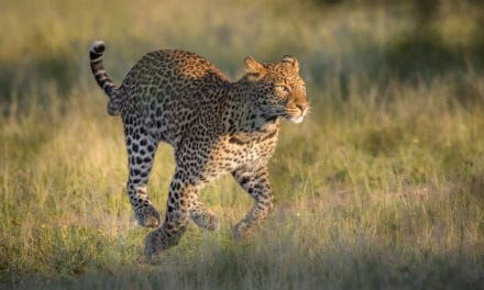 How fast is a leopard?
