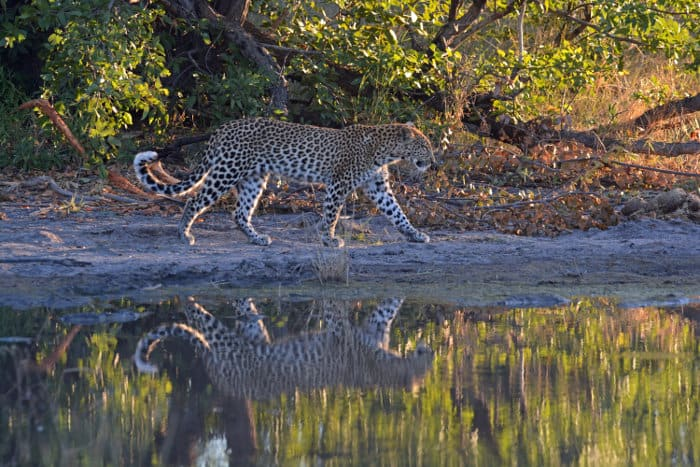 Leopard with reflection in Khwai region, Okavango