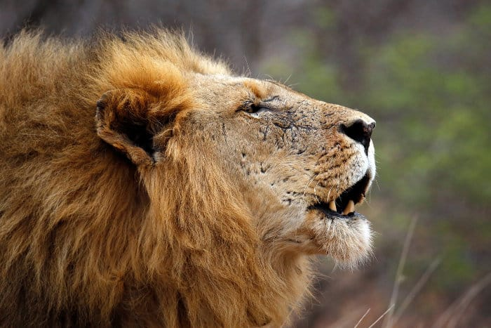 Lion calling its pride in the Kruger national park