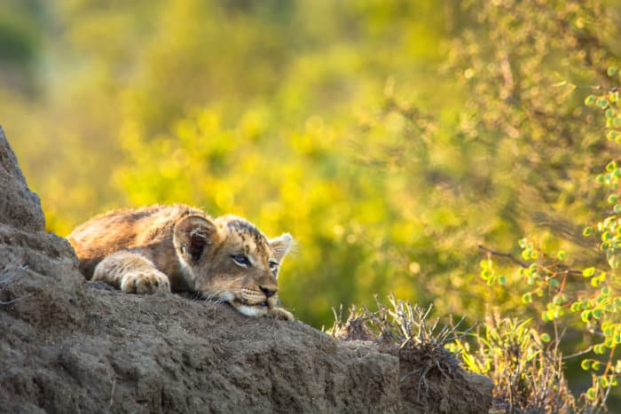 Lion cub resting on termite mound
