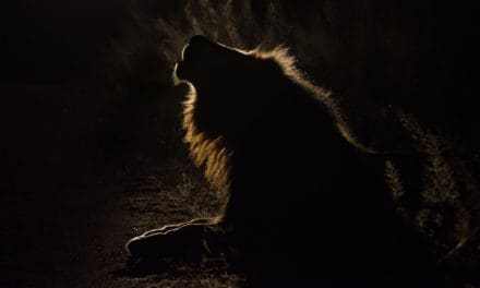 What sound does a lion make?