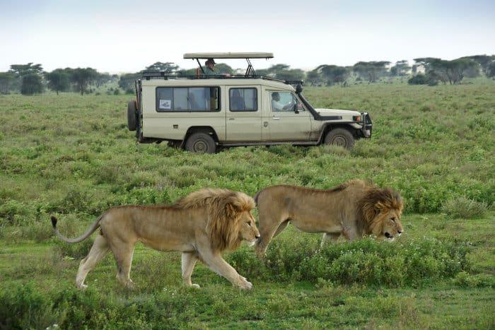 Two male lions walk past a 4x4 in Ndutu