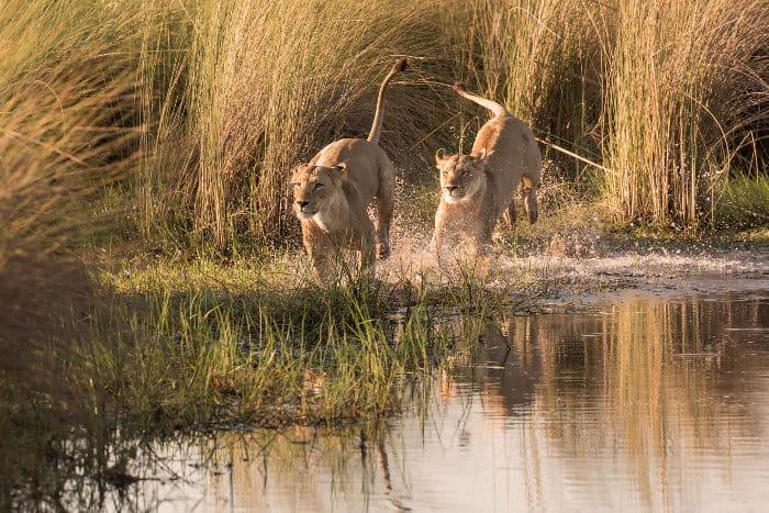 Two lions running in water, Okavango Delta