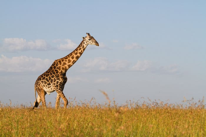 Lone giraffe bull walking through the grass in the Serengeti