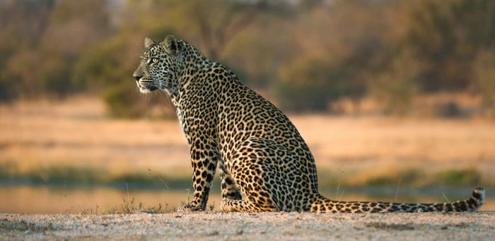 Male leopard on the alert in Sabi Sands, South Africa