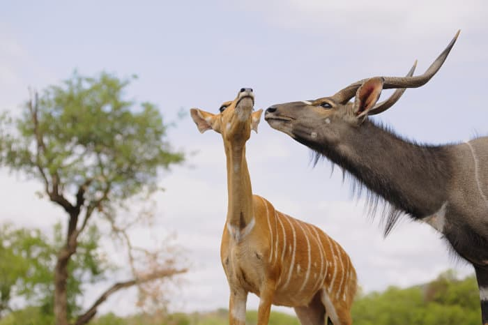 Nyala bull courting a female in oestrus