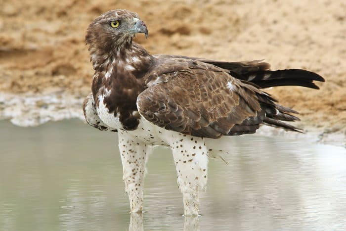 Martial eagle in rain puddle