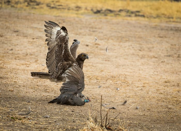 Martial eagle with helmeted guineafowl