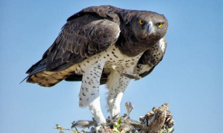 Martial Eagle – 14 remarkable facts about Africa's largest eagle