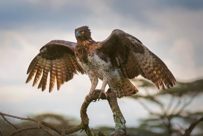 Martial eagle with wings partly extended