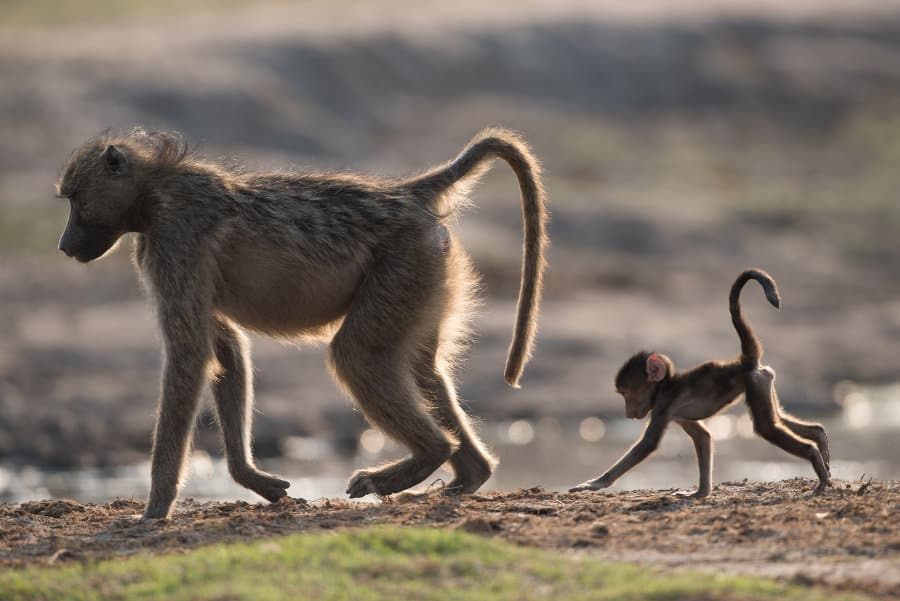 Chacma Baboons – Ten facts about a misunderstood wonder