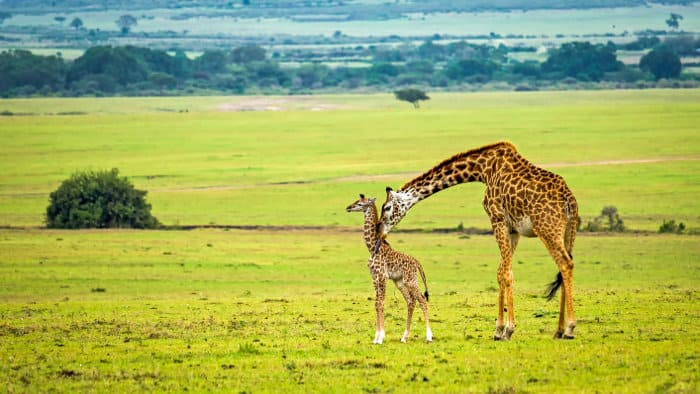 Mother giraffe and baby in the Masai Mara