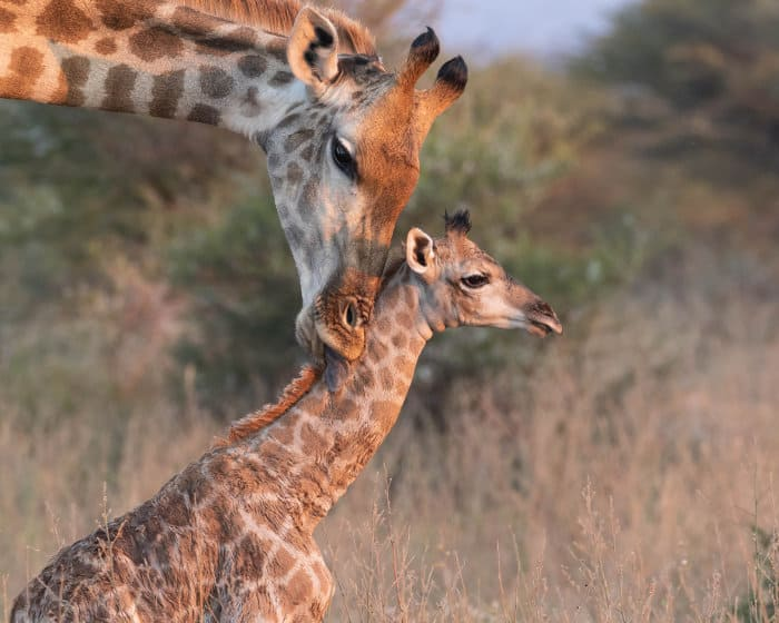 Mother giraffe licks its newborn baby