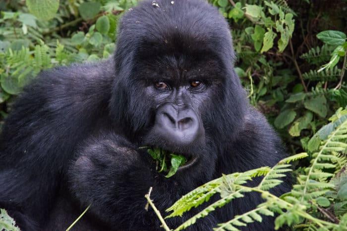 Mountain gorilla eating a plant