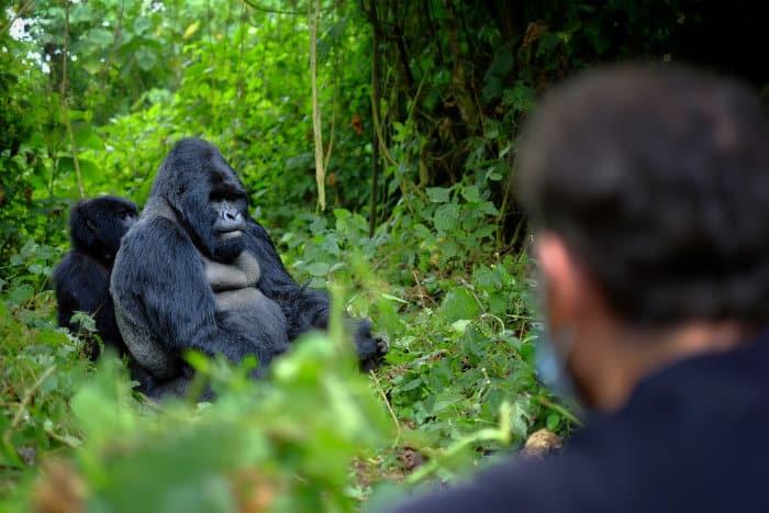 Mountain gorillas and tourists in Rwanda