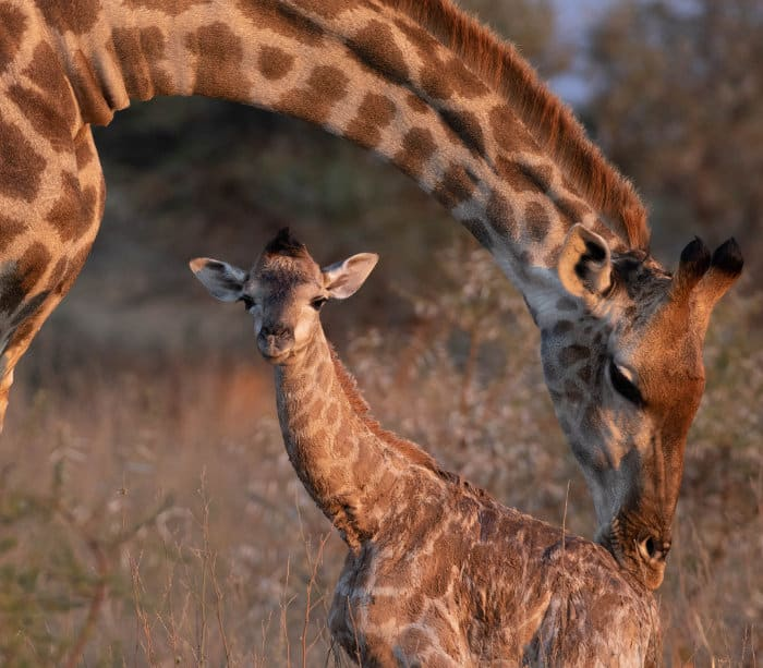 Newborn baby giraffe in the wild