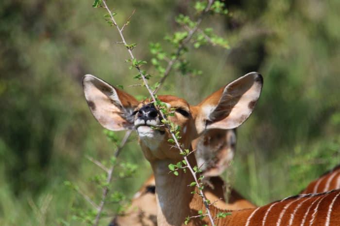 Female nyala browsing