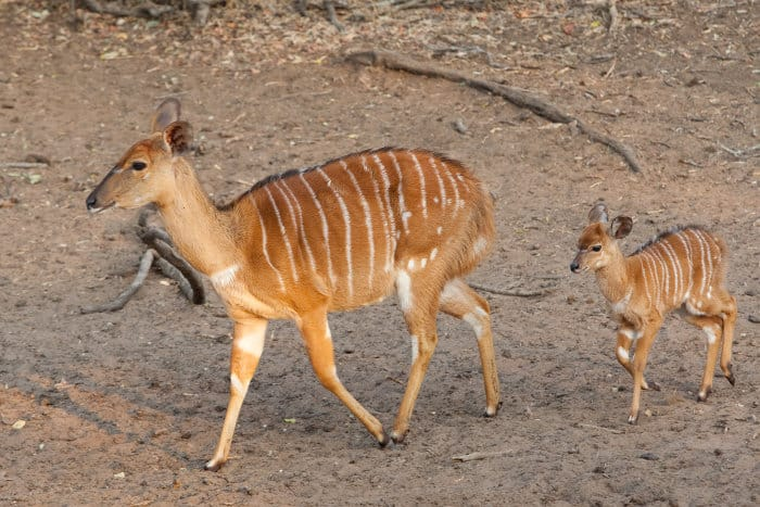 Baby nyala follows mom's footsteps in Mkhuze Game Reserve