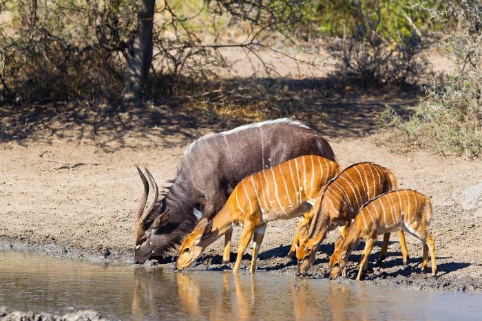 Nyala family drinking in Hluhluwe Umfolozi Game Reserve