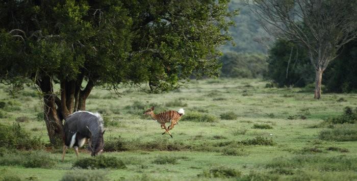 Happy nyala running in Kruger