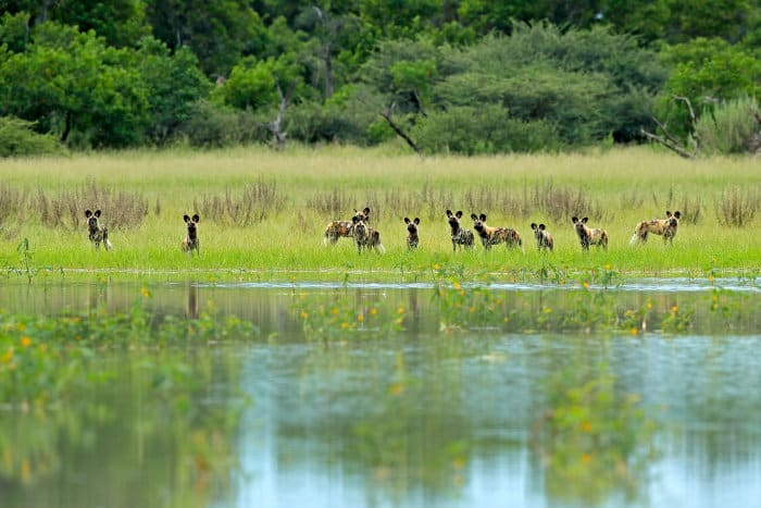 Pack of African wild dogs near water in Moremi