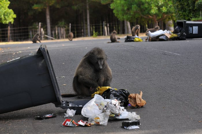 Raiding baboons in Cape Town