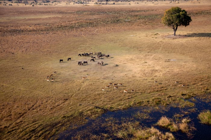Red lechwe and wildebeest from above in the Okavango