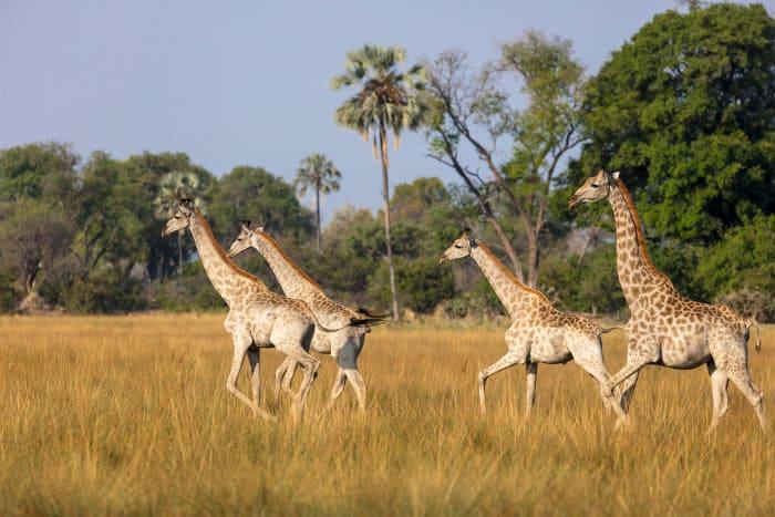 Herd of southern giraffe in the Okavango