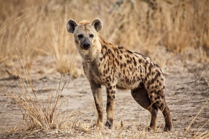 Spotted hyena in the Luangwa valley