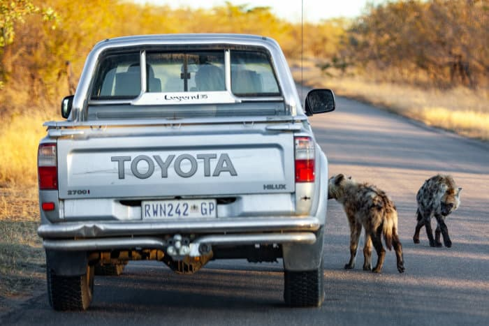 Spotted hyena next to vehicle in Kruger