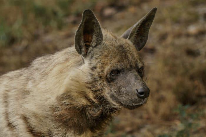 Close-up portrait of a striped hyena