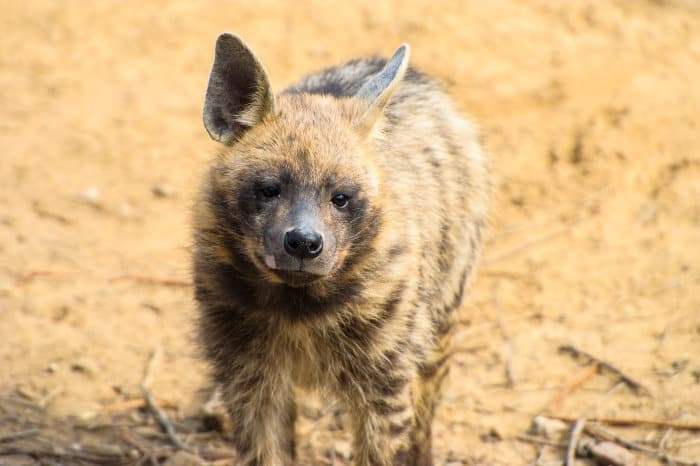 Striped hyena staring at the camera