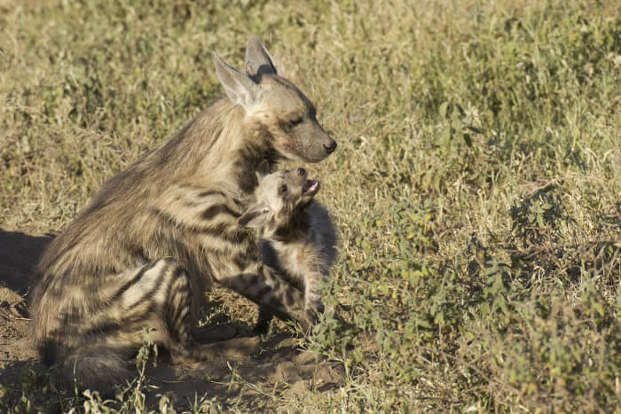 Striped hyena with cub in the Serengeti