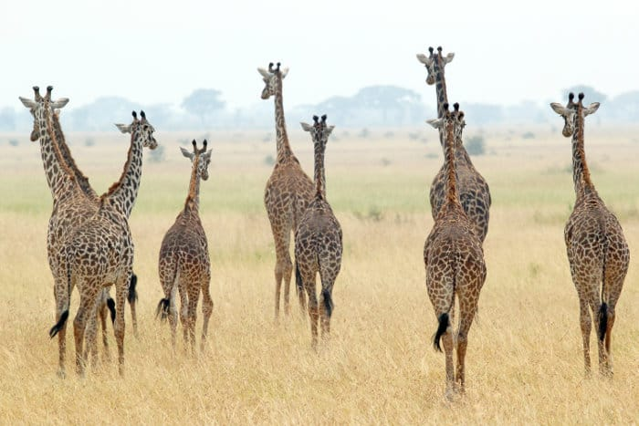 A tower of giraffes in the Serengeti