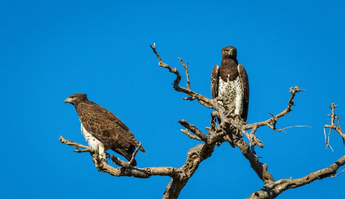Two perched martial eagles in Kruger park