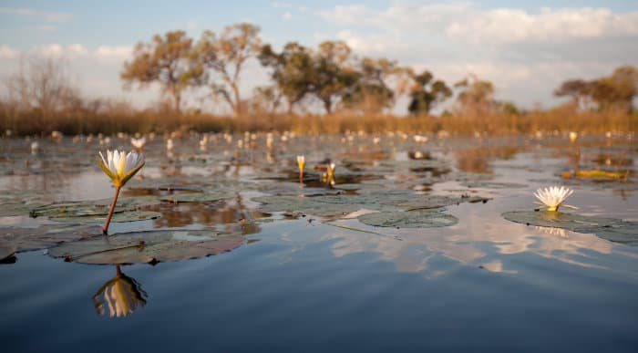 Water lilies on the Delta in Botswana