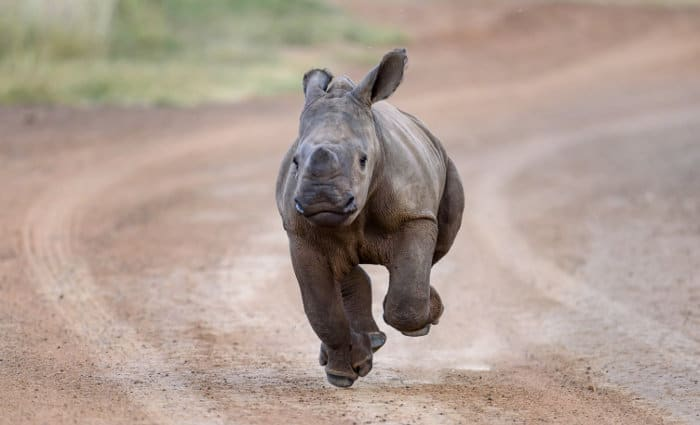 Cute baby white rhino in running motion