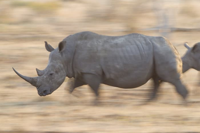 White rhinoceros in running motion