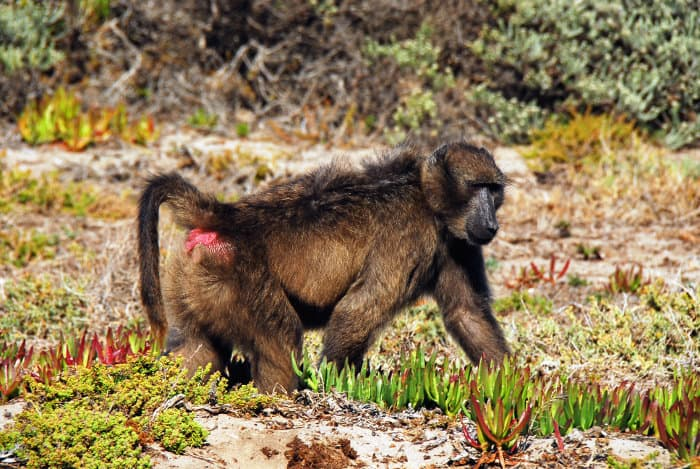 Chacma baboon with red bottom