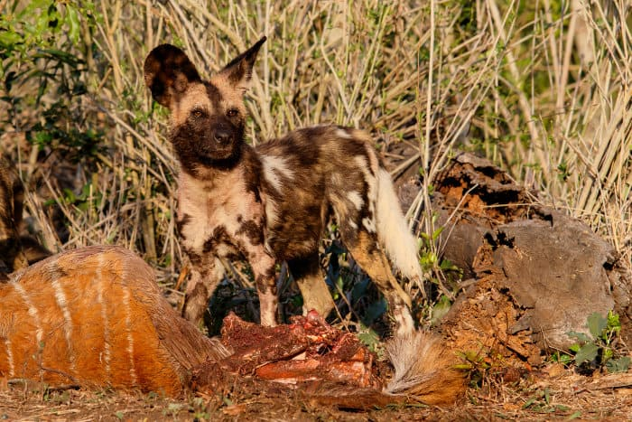 Wild dog with nyala carcass in Zimanga Game Reserve