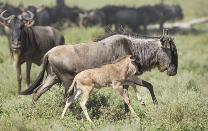 Wildebeest and calf in Ndutu, Ngorongoro Conservation Area