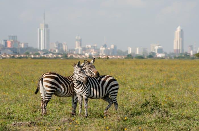 zebra with Nairobi city skyline as a backdrop