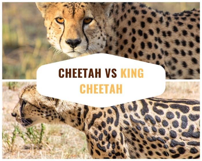 African cheetah versus king cheetah spot pattern