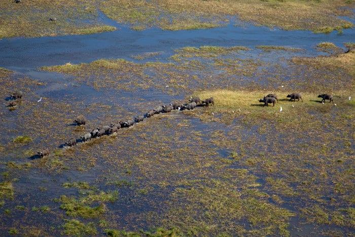 African buffalo herd seen from above in the Okavango Delta