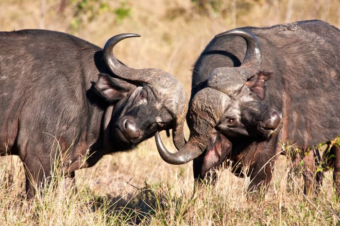 African buffalo fight for dominance