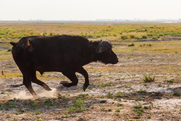 African buffalo in running motion