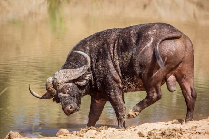 African buffalo that seems to be annoyed by insects