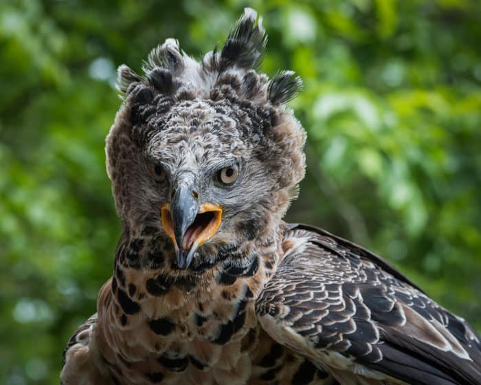 Close-up portrait of an African crowned eagle