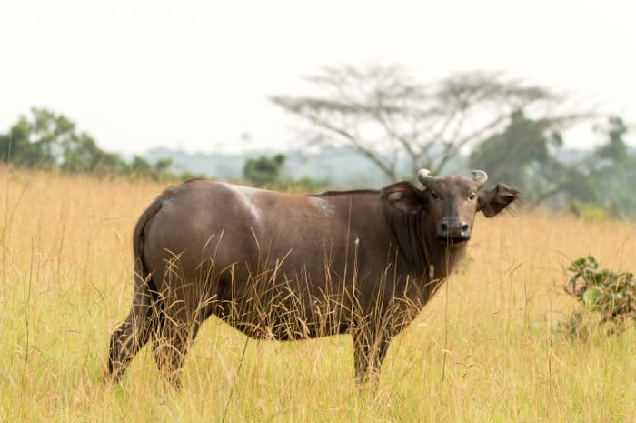 African forest buffalo in Conkouati-Douli National Park, Congo