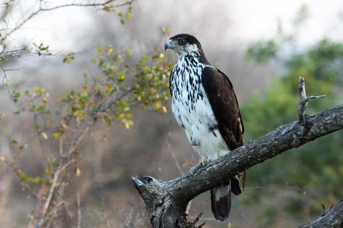 African hawk-eagle perched on a branch
